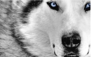 生存法则 – 狼性之间的文化